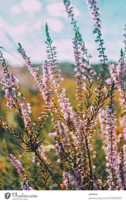 rosa Blüten von calluna vulgaris auf einem Feld bei Sonnenuntergang schön Sommer Umwelt Natur Pflanze Frühling Herbst Winter Blume Sträucher Blatt Grünpflanze