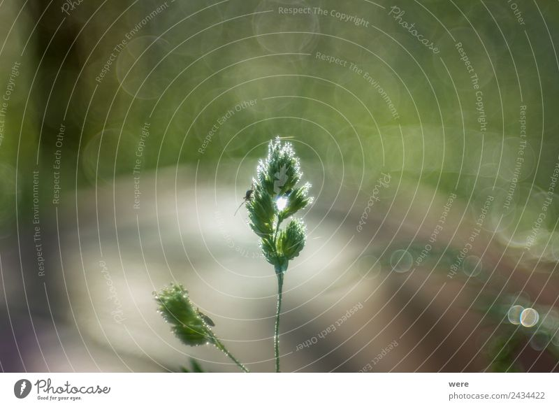 Dew-covered blade of grass with grasshopper Natur weich Hintergrundbild Shallow depth of field animal back light bekeh background copy space insects nobody