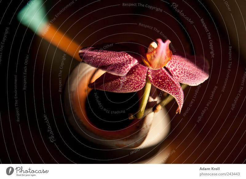 Archibald Natur Blume Orchidee Blumenvase ästhetisch elegant exotisch natürlich positiv Fröhlichkeit Romantik Frieden Hoffnung Lebensfreude Farbfoto mehrfarbig