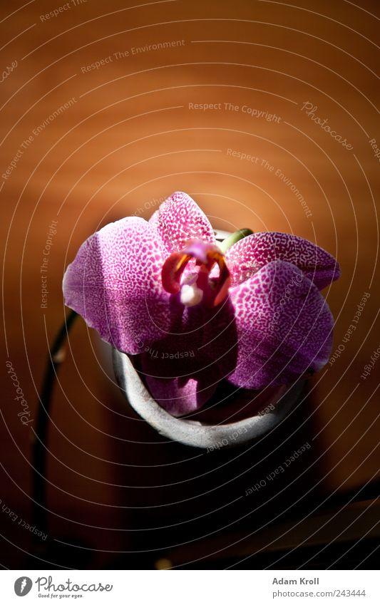 Archibald 2 Natur Pflanze Blume Orchidee Blumenvase Häusliches Leben ästhetisch elegant exotisch Fröhlichkeit schön natürlich positiv Glück Design Hoffnung