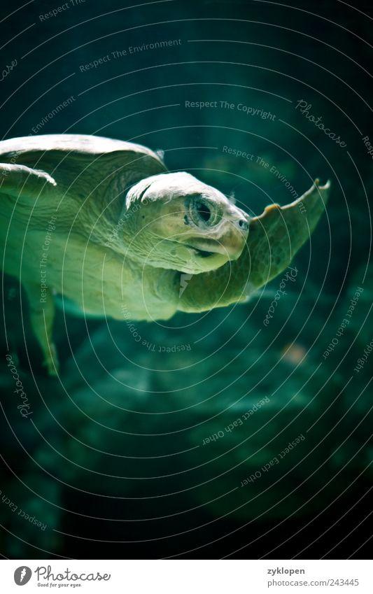 Reich mir die Flosse, Genosse! Zoo 1 Tier Wasser grün Natur Hallo Gruß Schwimmen & Baden Schildkröte Farbfoto Innenaufnahme Unterwasseraufnahme Kunstlicht