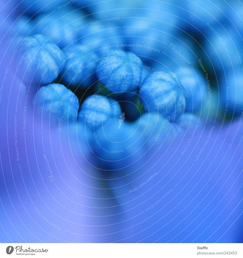 Hortensie knallblau Hortensienblüte Hydrangea Pflanze Sommer Umwelt Gartenpflanzen Blütenknospen Sommerblumen Blühend Beginn Blauton zart Blaufärbung nah Natur