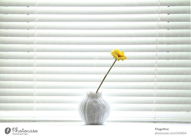 Dezent weiß Blume Pflanze Sommer Einsamkeit gelb Stil hell frisch Dekoration & Verzierung Streifen Mitte falsch einzeln Vase Jalousie