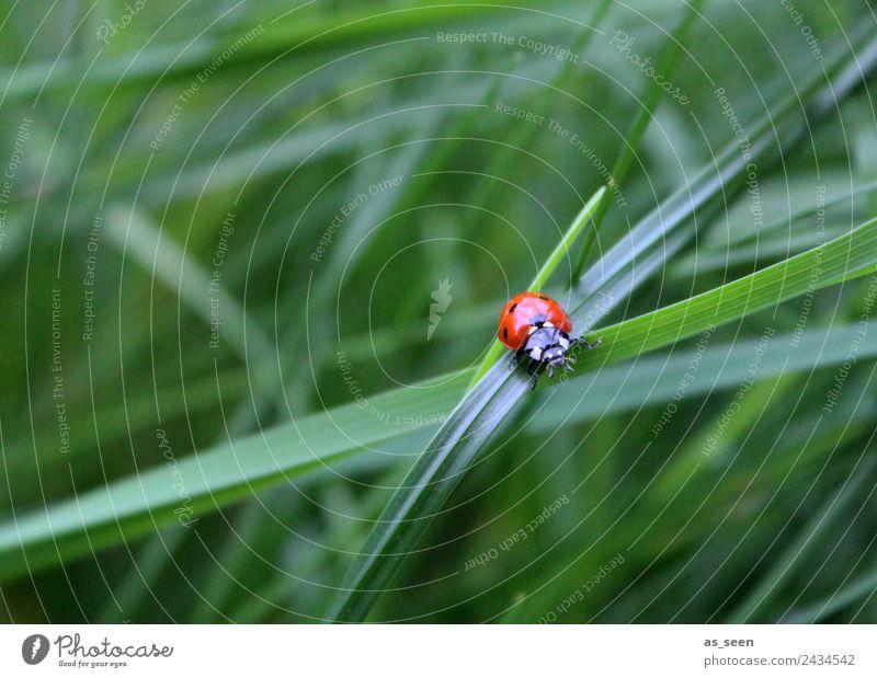 Marienkäfer auf Grashalm Natur Sommer Pflanze Farbe grün rot Erholung Tier ruhig Umwelt Wege & Pfade Gefühle Glück Garten Ausflug