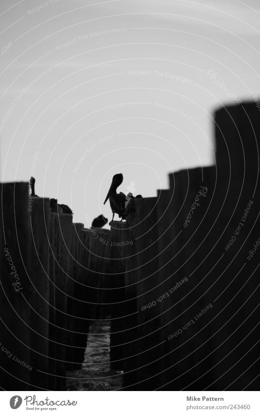Die Bewohner vom Pier Sommer Küste Meer Tier Vogel Flügel 4 Tiergruppe schlafen sitzen warten frei nah Zusammensein Freiheit Schwarzweißfoto Dämmerung