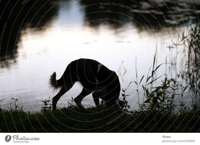 Sommerabend am See Umwelt Natur Landschaft Wasser Sonnenaufgang Sonnenuntergang Schönes Wetter Gras Schilfrohr Seeufer Tier Haustier Hund trinken ruhig