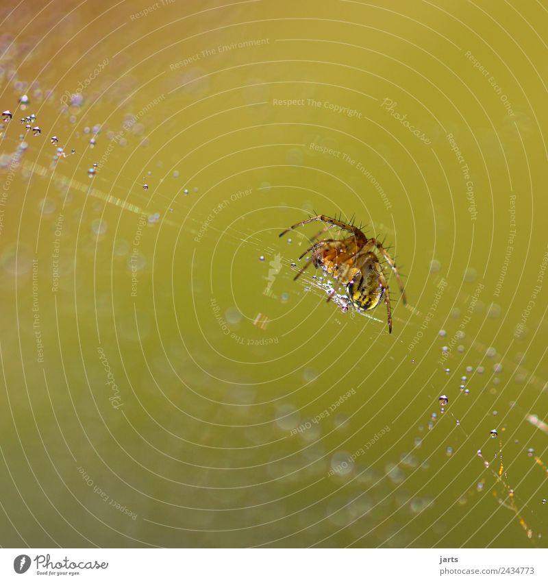 spinne Wildtier Spinne 1 Tier Tierjunges krabbeln ästhetisch Ekel nass natürlich schön stachelig Natur Tropfen Spinnennetz Farbfoto Außenaufnahme Nahaufnahme