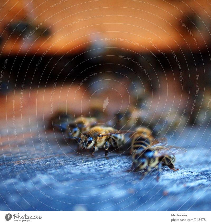 other colonies 1 Tier Nutztier Wildtier Biene Schwarm authentisch natürlich blau braun gelb gold grau schwarz weiß Bienenstock Flügel orange Anhäufung Eingang
