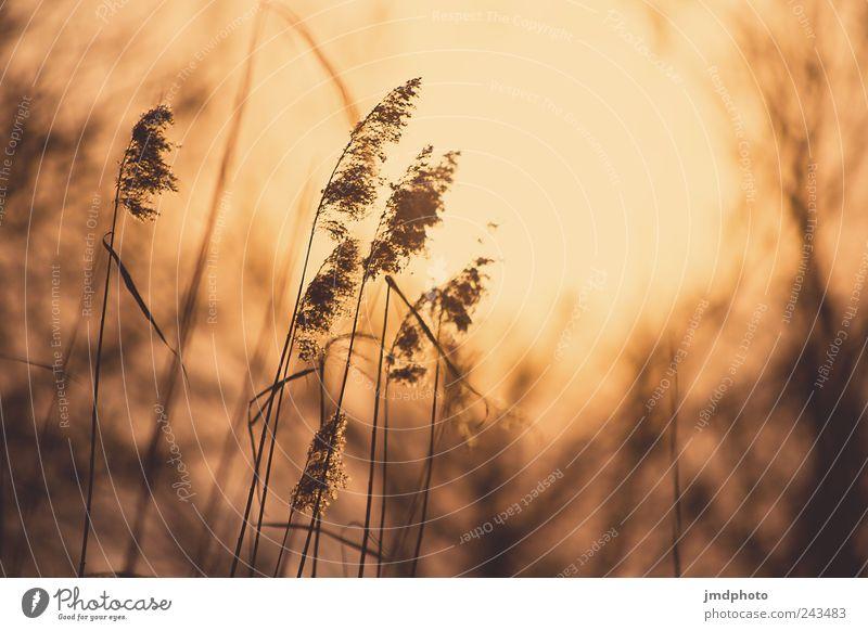 schilf Natur Pflanze Sommer Ferien & Urlaub & Reisen Erholung Umwelt Landschaft Gras Küste Horizont natürlich Romantik leuchten Warmherzigkeit Schilfrohr