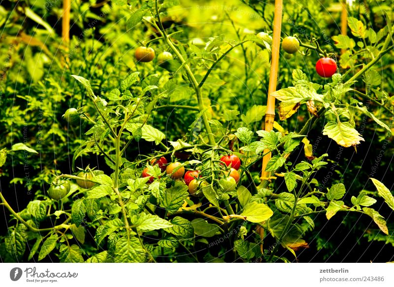 Tomaten Lebensmittel Frucht Ernährung Bioprodukte Vegetarische Ernährung Slowfood harmonisch Wohlgefühl Zufriedenheit Garten Pflanze Blume Blüte Wachstum
