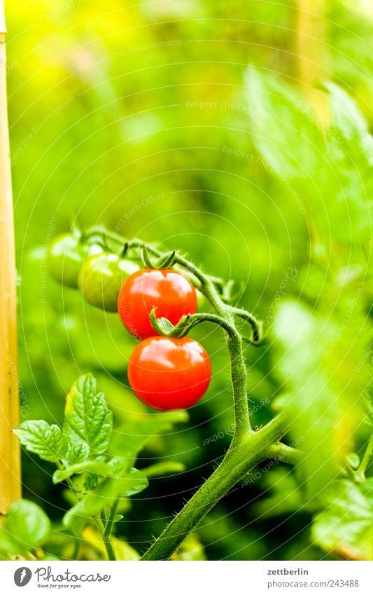 Wiederum Tomaten Natur grün Pflanze rot Ernährung Leben Blüte Garten Gesundheit Umwelt Frucht Wachstum Freizeit & Hobby reif Ernte harmonisch