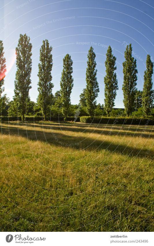 Pappeln Umwelt Natur Landschaft Pflanze Erde Himmel Sommer Klima Klimawandel Wetter Schönes Wetter Baum Gras Park Wiese Billig Allee Farbfoto Gedeckte Farben