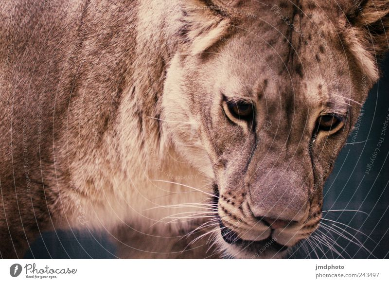Löwe Zoo Tier Wildtier Tiergesicht 1 beobachten entdecken Jagd warten bedrohlich exotisch wild Traurigkeit Einsamkeit Angst Schüchternheit Respekt gefräßig