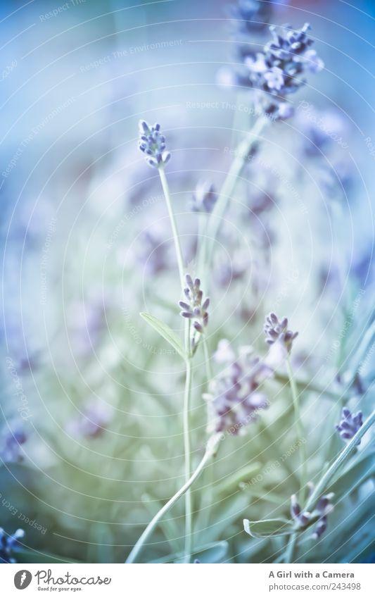 purplelyblue Dekoration & Verzierung Natur Pflanze Sommer Blume Nutzpflanze Wildpflanze Lavendel Garten Wiese Duft Wachstum ästhetisch dünn elegant frisch hell