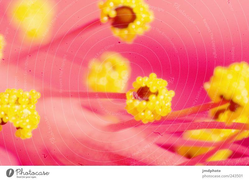 Hibiscus Natur Pflanze Farbe Umwelt Blüte glänzend leuchten frisch Blühend Duft exotisch Frühlingsgefühle Blütenstempel Nektar Blütenkelch Blume