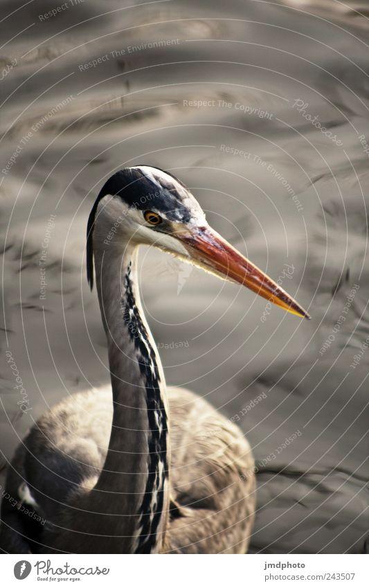 Wasservogel Umwelt Natur Landschaft Tier Park Wiese Küste Seeufer Flussufer Wildtier Vogel Flügel 1 beobachten Schwimmen & Baden frei nass Zufriedenheit