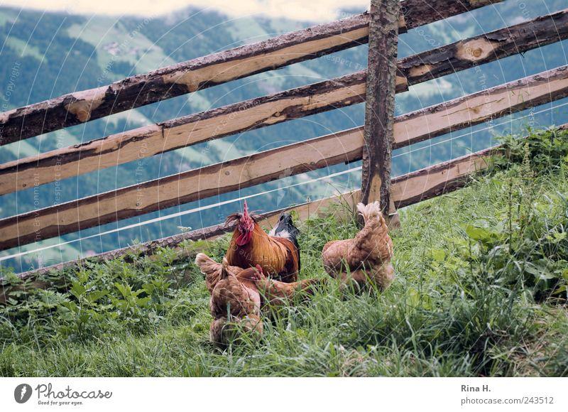 Hahn mit Harem Natur grün Sommer Tier gelb Wiese Berge u. Gebirge Landschaft Vogel authentisch natürlich Landwirtschaft Barriere Fressen ökologisch Haustier