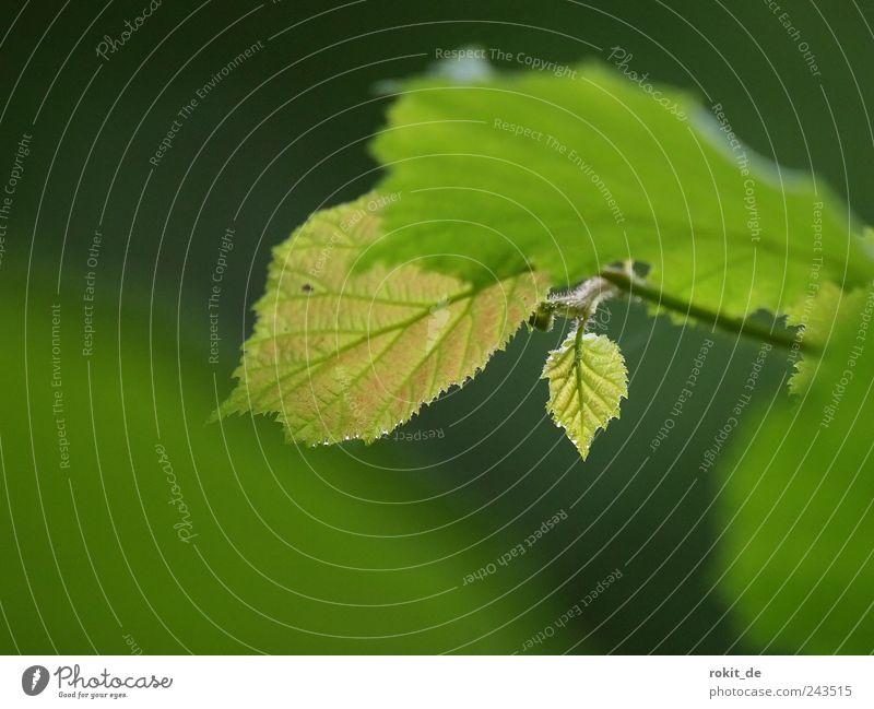 Hey Kleiner... Pflanze Baum Blatt Park frisch klein grün Frühlingsgefühle Tatkraft Spross Haselnussblatt Einsamkeit mehrfarbig Außenaufnahme Textfreiraum links