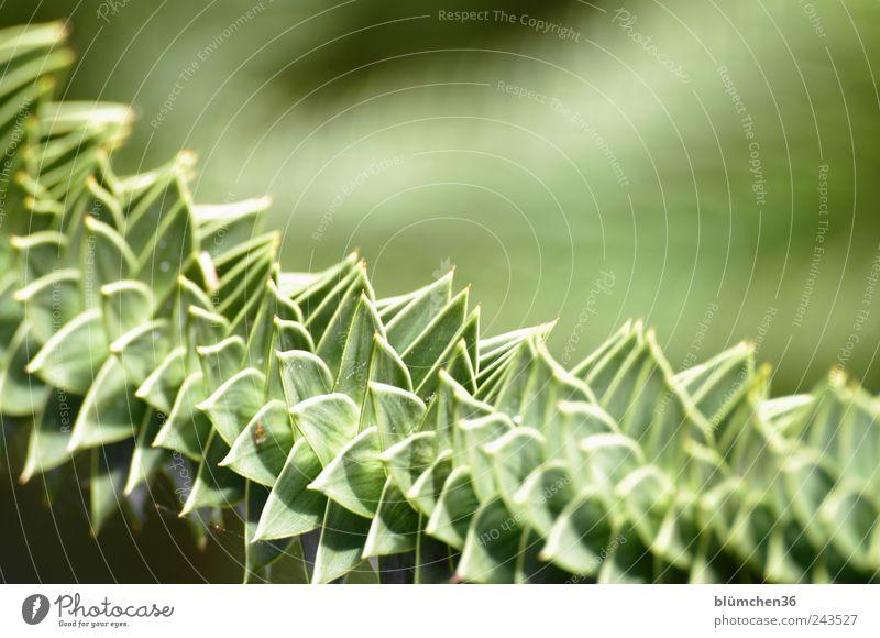 Spitzen Blätter ... Natur Baum grün Pflanze Park bedrohlich Spitze außergewöhnlich exotisch stachelig eckig