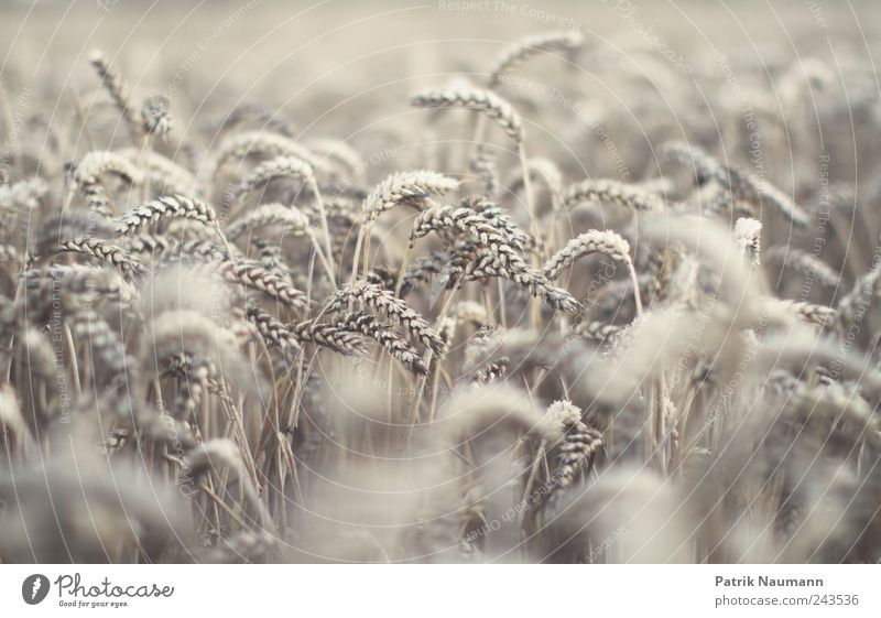 reloaded wheat Sommer Feld Wetter Umwelt gold frisch Klima Landwirtschaft Duft reif trocken Ernte Ackerbau Bioprodukte Klimawandel Weizen