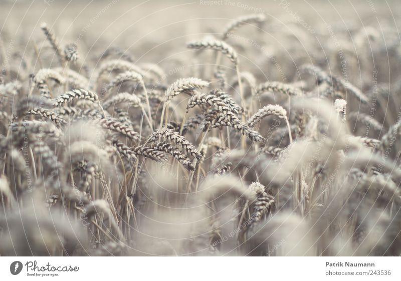 reloaded wheat Umwelt Sommer Klima Klimawandel Wetter Nutzpflanze Feld Duft frisch trocken gold Weizen Weizenfeld Ernte Landwirtschaft Agrarprodukt Sprößling