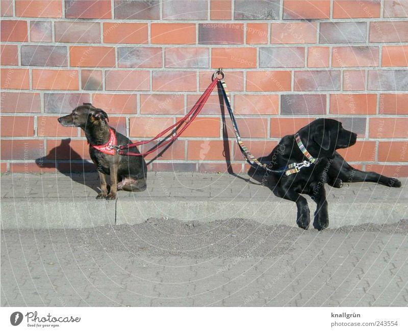 Beleidigt! Tier schwarz Wand Gefühle grau Mauer Hund Stimmung braun sitzen warten liegen Perspektive Kontakt Bürgersteig Partnerschaft