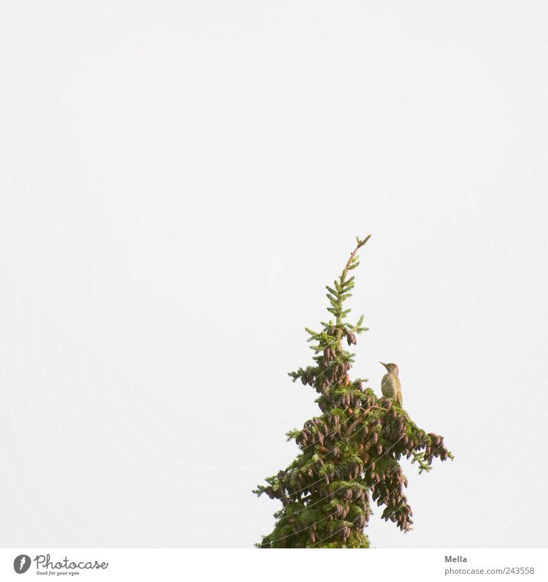 Grün in Grün Umwelt Natur Himmel Pflanze Baum Tanne Tannenzweig Baumkrone Tier Vogel Grünspecht 1 Blick sitzen frei hell natürlich Freiheit einzeln Einsamkeit