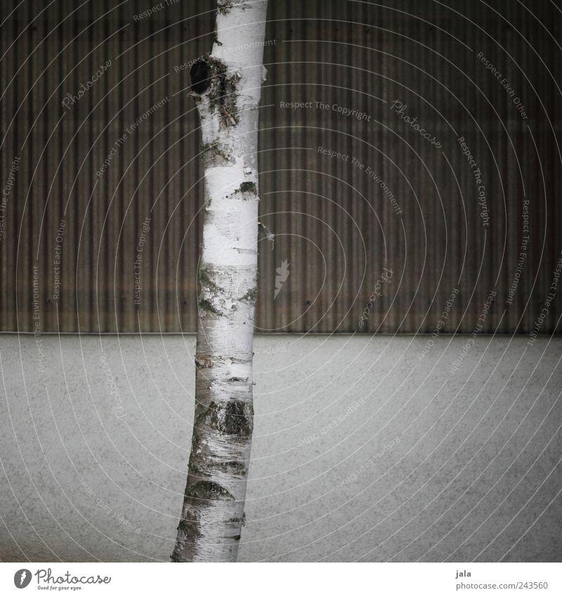 stamm weiß Baum Pflanze Wand grau Mauer braun Fassade trist einfach Baumstamm Birke