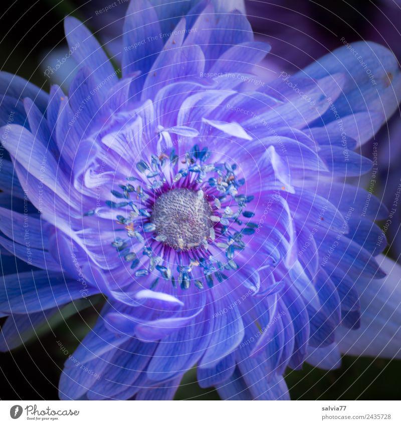 Blütenmuster Natur Pflanze Frühling Sommer Blume Anemonen Frühlingsblume Garten Duft schön blau ästhetisch Design Anordnung Farbfoto Außenaufnahme Makroaufnahme