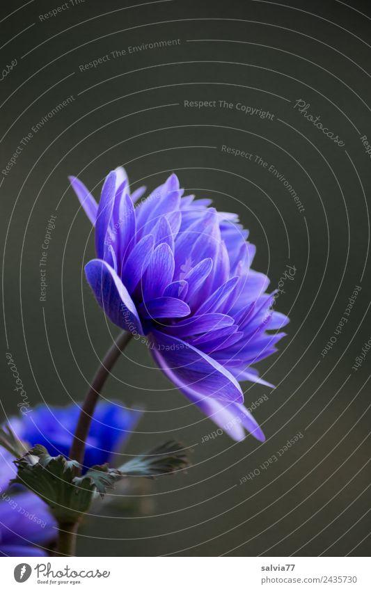blaue Anemone harmonisch ruhig Duft Garten Pflanze Frühling Blume Blüte Frühlingsblume Anemonen Blühend ästhetisch Design Farbfoto Außenaufnahme Makroaufnahme