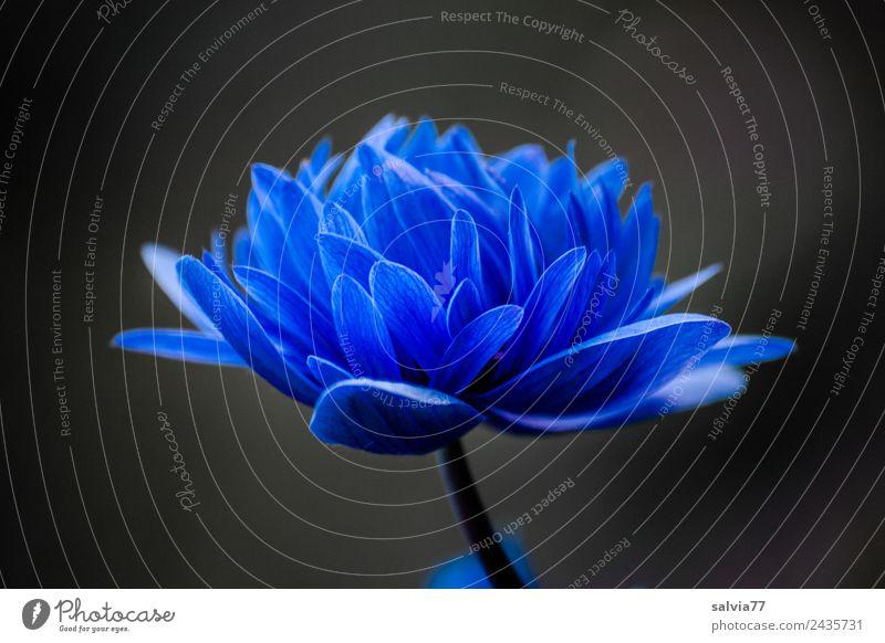 ** 800 ** Natur Pflanze Frühling Blume Blüte Frühlingsblume Anemonen Garten Blühend ästhetisch Duft schön blau schwarz elegant Farbe Kontrast Farbfoto
