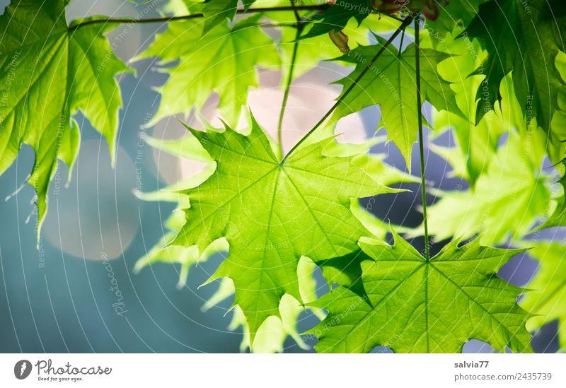 Ahornblätter Umwelt Natur Pflanze Frühling Blatt Zweige u. Äste Ahornblatt Park Wald Wachstum frisch grün Farbfoto Außenaufnahme Nahaufnahme Muster Menschenleer