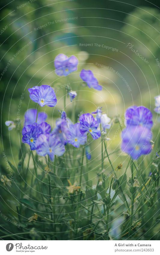 the blue flower group Natur schön grün Pflanze Sommer Umwelt natürlich Garten Zusammensein Park Kraft Wachstum Freundlichkeit violett zart Duft