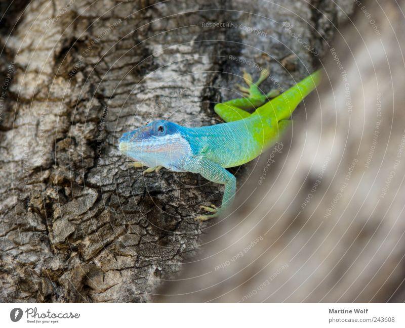 guckguck Natur Tier Baum Wildtier Anolis Gecko Echte Eidechsen Leguane Mamoranolis Anolis marmoratus 1 Blick frech Neugier blau grün Baumrinde Farbfoto