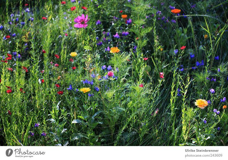Sommerwiese Natur schön Blume Pflanze Blatt Blüte Gras Garten glänzend Umwelt frisch Fröhlichkeit ästhetisch Wachstum stehen