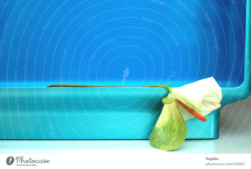 Calla Blume blau Dekoration & Verzierung obskur türkis welk