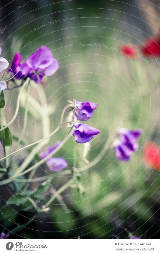 one year wonder Umwelt Pflanze Sommer Blume Blüte Gartenwicke Stauden Ranke Blühend Duft leuchten Wachstum außergewöhnlich einzigartig violett rot schön