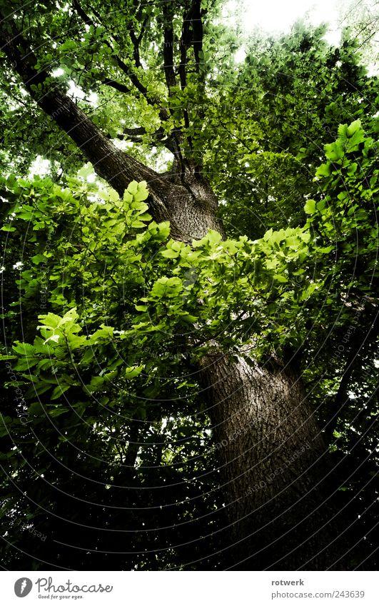 Eiche Aufblick Umwelt Natur Landschaft Pflanze Sommer Baum Wald Umarmen braun grün schwarz Kraft Ehrlichkeit authentisch ästhetisch Zufriedenheit nachhaltig