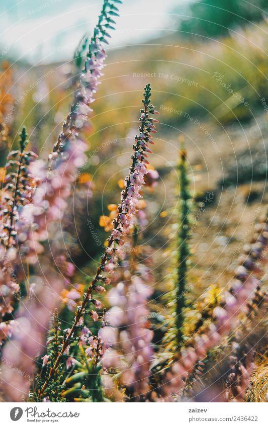 rosa Blüten von calluna vulgaris auf einem Feld bei Sonnenuntergang schön Sommer Umwelt Natur Pflanze Blume Sträucher Blatt Grünpflanze Wildpflanze Garten Park