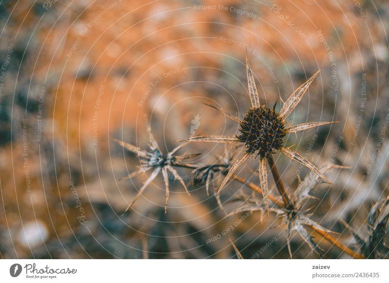 getrocknete Frucht cirsium auf dem Feld Kräuter & Gewürze Design schön Natur Pflanze Sand Baum Blume Gras Blatt Blüte Grünpflanze Wildpflanze Garten Park Wiese