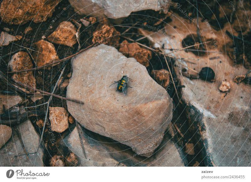große schwarze Fliege auf einem Stein auf dem Boden Garten Natur Tier Park Wiese Feld Wildtier 1 sitzen klein natürlich wild grün rot weiß Einsamkeit Farbe