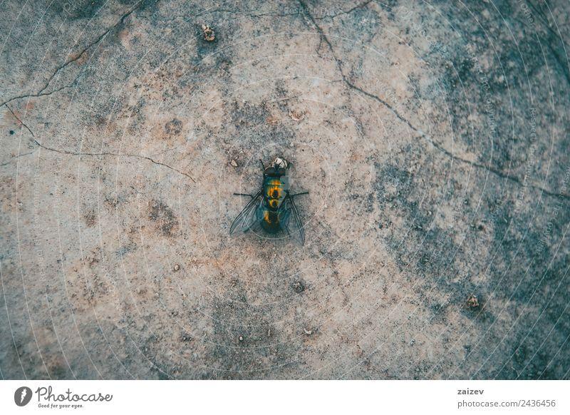große und grüne Fliege Nahaufnahme an einer Wand Garten Umwelt Natur Tier Park Wiese Feld Wald Felsen Wildtier 1 Stein sitzen klein natürlich wild rot schwarz