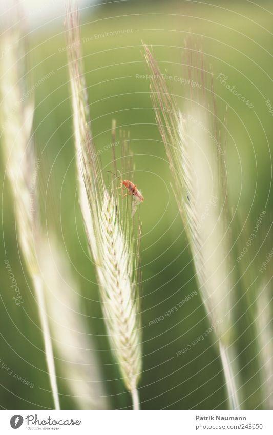 (A)ehrentier Natur weiß grün rot Pflanze Sommer Tier ruhig Umwelt Wiese Gras Zufriedenheit Feld Klima Wachstum beobachten