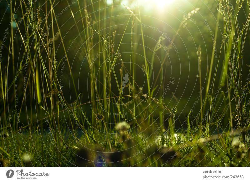 Gras wallroth Rasen Sportrasen Wiese Weide Garten Park Natur Pflanze Halm Licht Sonne Sonnenlicht Sonnenstrahlen Gegenlicht dunkel Dämmerung Sonnenuntergang