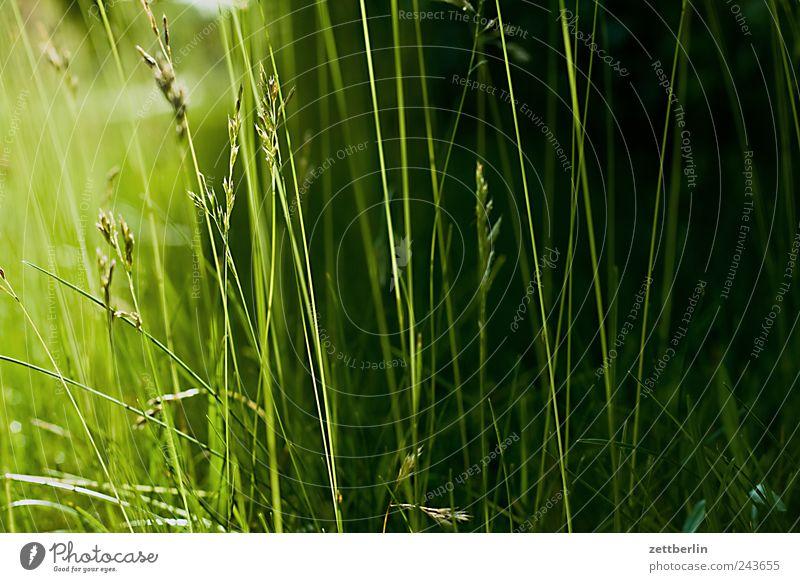 Noch mehr Gras Natur grün Pflanze dunkel Wiese Garten Gras Park Rasen Weide Urwald Halm Textfreiraum Schrebergarten Unterholz Umwelt