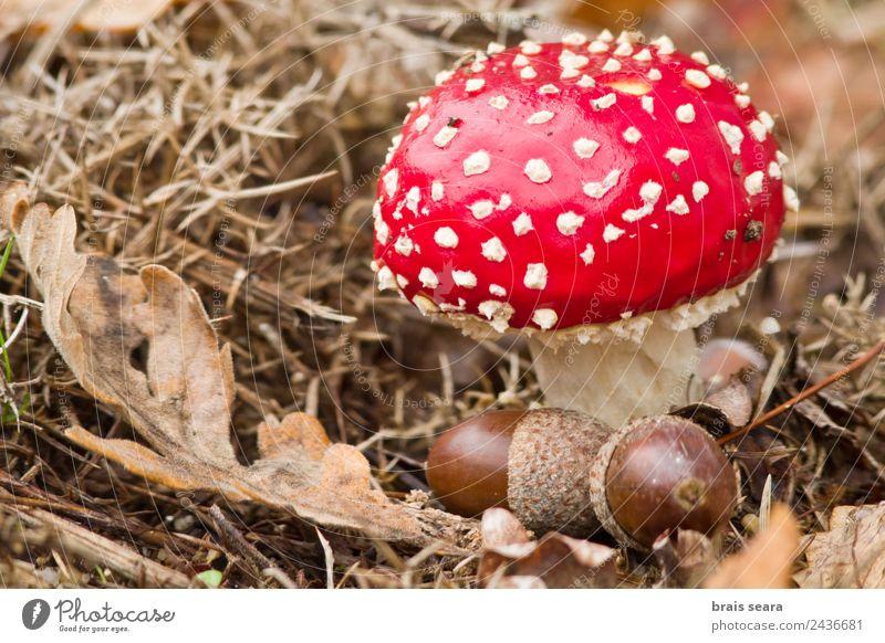 Fliegenpilz Pilz Freizeit & Hobby Umwelt Natur Pflanze Erde Herbst Feld Wald natürlich wild rot Todesangst Tierwelt amanita Gift Toxizität Eicheln Eichennuss