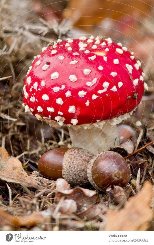 Fliegenpilz Pilz Umwelt Natur Pflanze Erde Herbst Wald rot Tierwelt Spanien Spanisch Europa Europäer amanita Gift Toxizität Feld Eicheln Eichennuss Nut Muttern