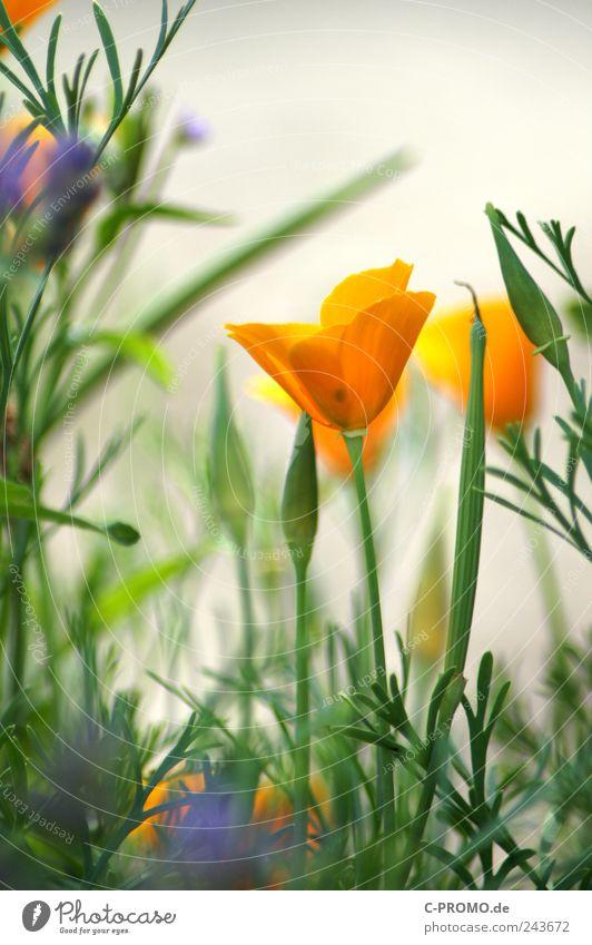 %%%)----- Pflanze Sommer Blume Blatt Blüte Grünpflanze Garten Park Wiese Duft gelb grün ästhetisch Natur Farbfoto Außenaufnahme Tag Starke Tiefenschärfe