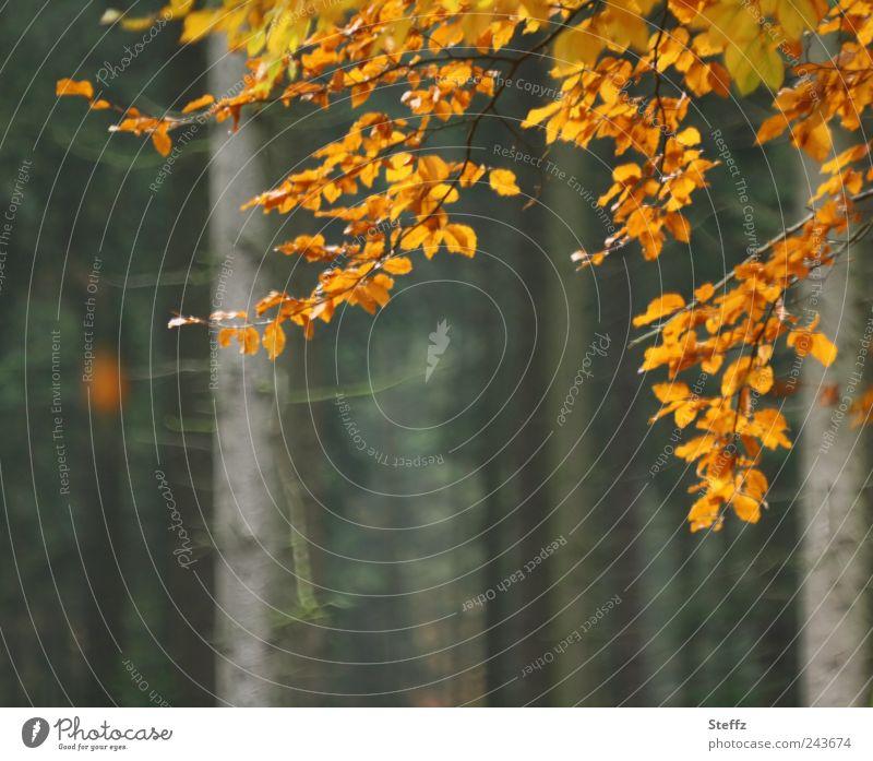 bye bye summer Natur Pflanze Herbst Baum Blatt Buche Buchenblatt Herbstlaub Wald Herbstlandschaft Herbstwald braun orange Traurigkeit Vergänglichkeit herbstlich
