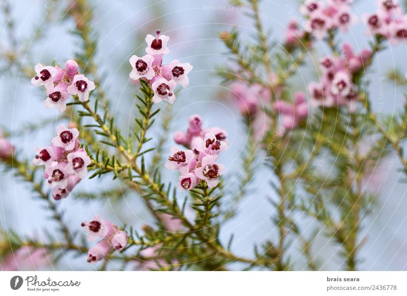 Spanische Heide Wissenschaften Biologie Biologe Umwelt Natur Pflanze Erde Blume Blatt Blüte Grünpflanze Wildpflanze Feld rosa Gelassenheit Umweltschutz